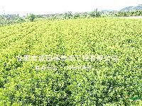 安徽合肥供应石楠、梅花、国槐、皂角、红叶李、枸树、枇杷、