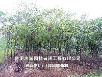 安徽合肥供应:乌桕、黄连木、榔榆、三角枫、丝棉木、