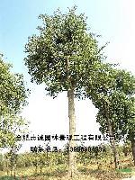 安徽合肥 供应:白玉兰、红叶李、梓树、丝棉木、皂角、桑树