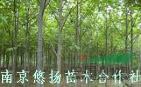 南京马褂木,鹅掌楸价格,杂交马褂木,南京大型马褂木基地