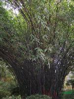 供应紫竹,刚竹,毛竹,铺地竹,早园竹