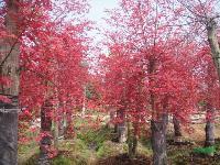 湖南红枫.红枫树.鸡爪槭.美国红枫.原生红枫