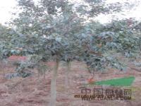 红果冬青,雪松,小广玉兰,南京1公分-5公分广玉兰基地