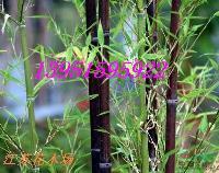紫竹金镶玉竹价格贵青皮竹绿竹价格低黄槽竹黑竹不可多得