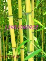 紫竹黑竹黄金竹金镶玉竹青皮竹早园竹淡竹质量好价格低