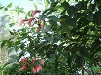 鸡冠刺桐(象牙花)米径5公分-25公分