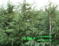 雪松,雪松苗,雪松树 别名:香柏雪 松宝塔松