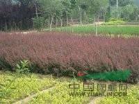 红叶小檗、红叶石楠、金叶莸、红帽月季