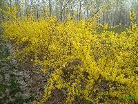 连翘、迎春、迎夏、海桐、水腊、胶东卫矛、花石榴、常夏石竹