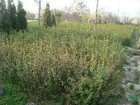 黄刺玫、金丝梅、紫丁香、金森女贞、五叶地锦、三叶地锦、毛鹃