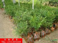 红天竹、南天竹、金银木、法国冬青、丛生木槿、小叶栀子花、杜鹃