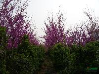 供应.紫荆.五角枫.栾树.杜仲.黄栌.黄连木山茱萸..木瓜