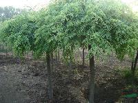 垂槐、雪松、苦楝树、水杉、紫叶桃、红叶桃、红枫、青枫、金枝槐