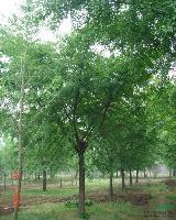 银杏、法桐、栾树、合欢、国槐、垂柳、柳树、黄山栾树、速生柳