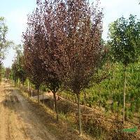 紫叶李、红叶李、紫荆、紫薇、紫藤、百日红、黄金槐、日本樱花