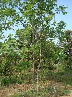 龙爪槐、马褂木、柿子树、桃树、刺槐、垂梅、黄连木、青桐、乌桕