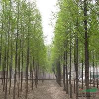 竹柳、板栗树、落羽杉、流苏、杨树苗、木瓜、鹅掌楸、朴树、丹桂