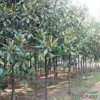 广玉兰、白玉兰、紫玉兰、白果树、鸡爪槭、珍珠梅、桂花、青皮柳