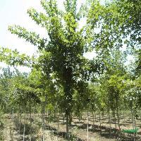 丝棉木、意杨、中华金叶榆、花石榴、榉树、重阳木、三角枫、杜英