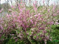 美人梅、榆叶梅、腊梅、红梅、绿梅、红花紫荆、楸树、红花紫薇