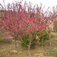 红叶碧桃、垂丝海棠、西府海棠、速生法桐、法国梧桐、金枝国槐