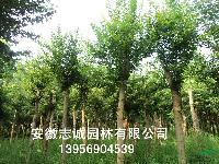安徽合肥供应乌桕、黄连木、榔榆、三角枫、丝棉木