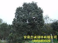 安徽合肥供应石楠、红叶李、枸树、枇杷、重阳木、朴树