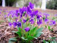 紫花地丁 (别名:铧头草、光瓣堇菜)