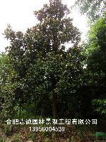 安徽合肥供应;广玉兰、朴树、紫薇、红叶李、石楠