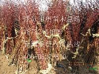 鸡爪槭小苗 鸡爪槭价格 鸡爪槭小苗10万棵