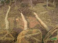 安徽合肥供应 :乌桕、国槐、皂角、红叶李、枸树、枇杷、碧桃