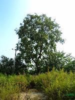 安徽合肥供应供应乌桕、黄连木、榔榆、三角枫、丝棉木、杜梨