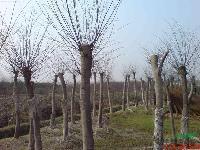朴树、紫薇、红叶李、石楠,木槿、紫荆、花石榴,黑松、湿地松