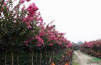 急售:合歡,欒樹,大葉女貞,垂柳,櫻花,紫薇,銀杏,紫葉李