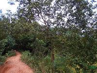 安徽合肥供应:三角枫、朴树、乌桕、桂花、石楠、枇杷、