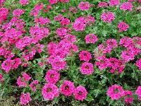 美女樱、太阳花、波斯菊 草花 时花