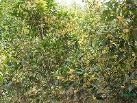 湖南地区供应1.5-2公分的八月桂