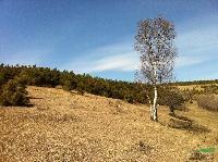 供应:青扦云杉1--8米、樟子松、油松、蒙古栎、五角枫、白桦