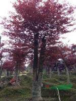 红枫湖南红枫.红枫价格.青枫.鸡爪槭