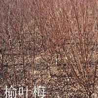 供应:红叶石楠球紫叶桃、桂花.红枫、香樟、移栽香樟、桂花