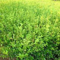 供应:红瑞木、绣线菊、 花石榴、迎春、棣棠 、连翘、迎夏