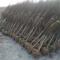 江蘇榆葉梅銷售價格紫荊批發七葉樹銷售