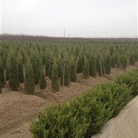 供应:金银木、红叶石楠、瓜子黄杨、棣棠、流苏、紫丁香、龙柏
