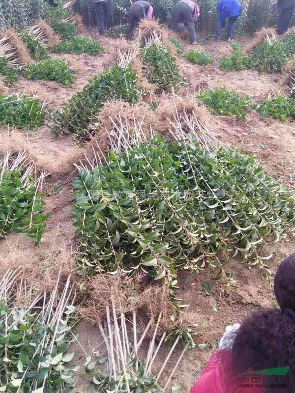 供应:桂花、木槿、红瑞木.金银木、丁香、红叶澳门百利宫平台球、珊瑚