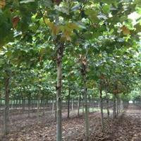 供应:碧桃、木瓜、榉树、国槐、垂槐、黄金槐、垂柳、金丝柳
