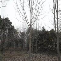供应:七叶树、黄连木、枫杨、龙爪槐、苦楝、 泡桐、火炬