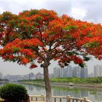 凤凰木(红花楹)