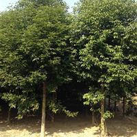 天竺桂 重阳木 菩提树