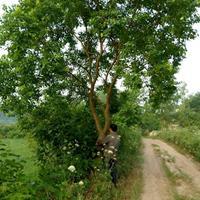 安徽合肥供应:广玉兰、乌桕、黄连木、榔榆、三角枫