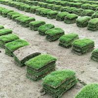 【精选】江苏马尼拉 小区庭院工地绿化专用草